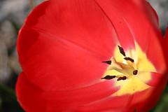 red flower macro stamen pistol tulip