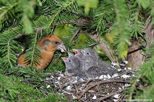 """Результат пошуку зображень за запитом """"red crossbill nest"""""""