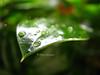 emergence (Mottled) Tags: green leaf dpsgreen