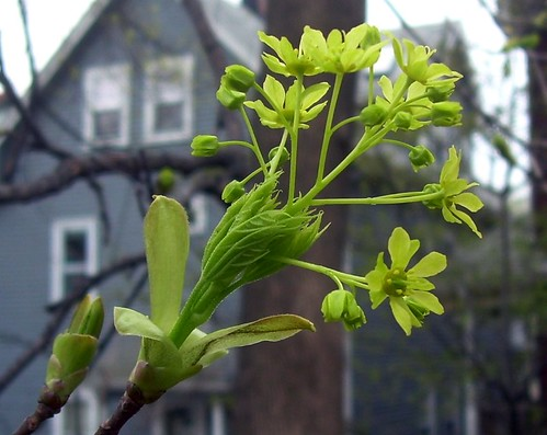 Norway Maple Buds