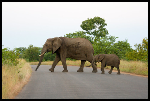 elephants in Kruger - not the greatest, but the first