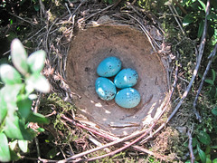 find / vondst (friedkampes) Tags: nest hedge eggs blackbird friedkampes ixus95is