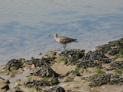 12272 - Whimbrel at Burry Port