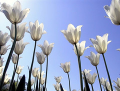 Ottawa Ontario Canada, May 2011  Canadian Tulip Festival  178 (dugspr  Home for Good) Tags: ontario canada flower fleur ottawa walkabout tulip kanada dowslake canadiantulipfestival unlimitedphotos may2011