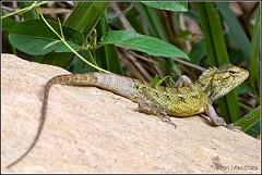 Changeable Lizard (Jason Mendoza) Tags: macro canon is 100mm usm animalplanet ef f28l canoneos7d canonef100mmf28lmacroisusm