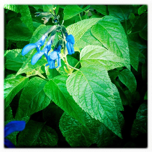 Salvia Guarantica, really loving the rain!