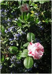 garden1910_scentl