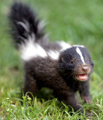 Baby skunk (floridapfe) Tags: baby cute nature face animal zoo nikon korea skunk everland  d80 vosplusbellesphotos