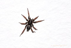 parson spider (christiaan_25) Tags: hairy halloween spider big scary eyes legs arachnid watching hunter stalking parsonspider herpyllusecclesiasticus
