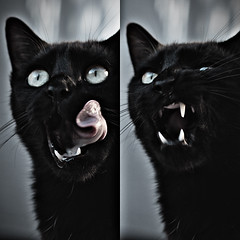 Scary Golia (Village9991) Tags: black halloween night cat scary october trickortreat tiger creepy petal curly lazy cuddles 31st frightening panter