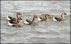 Birds - Greylag Geese (blmiers2) Tags: orange lake newyork bird feet nature water beautiful birds geotagged geese nikon wildlife beak waterbird aves goose waterfowl webster gooses anser anseranser wildgoose greylag greylaggoose anatidae anseriformes graylag greylaggeese irondequoitbay graylaggoose thegeese anserinae goosegeese geesegoose greylags d40x geesepictures goosegander blm18 blmiers2