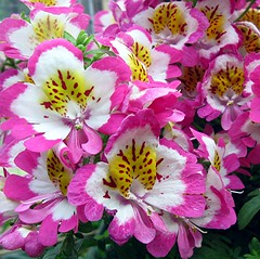 Painted Petals (Mary Faith.) Tags: park pink flowers light summer holiday plant hot colour macro art nature garden design spring picnic bright painted cluster multicoloured hobby spray exotic spotted blooms hangingbasket potplant schizanthus frilled pinkwhiteyellow excellentsflowers wonderfulworldofflowers