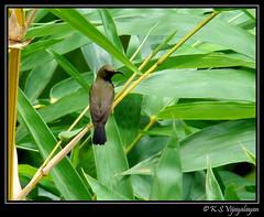 Olive-backed Sunbird (vijayalayan) Tags: sunbird olivebacked