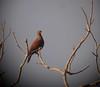 Patagioenas speciosaDFL-PE05 (barbetboy) Tags: fbwnewbird fbwadded patagioenasspeciosa