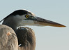 This Great Blue Heron was a bit in distress. It had fishing line or netting wrapped around its le...