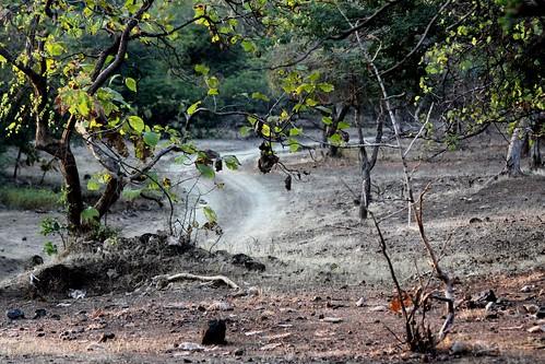 Low 2009-11-29 Sasan Gir - 01 Safari 24