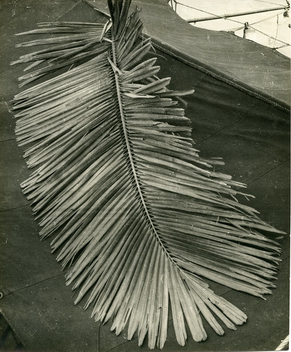 Leaf of an Arenga collected on Halmahera