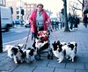 The Amazing Dog Woman of Holloway - with the aid of a sausage on a stick she can reach 25mph. (deepstoat) Tags: street london 120 dogs mediumformat absurd obsession papillon holloway pushchair mamiya7ii thelittledoglaughed autaut benher deepstoat