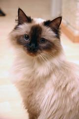 [フリー画像] [動物写真] [哺乳類] [ネコ科] [猫/ネコ] [シャム猫]      [フリー素材]