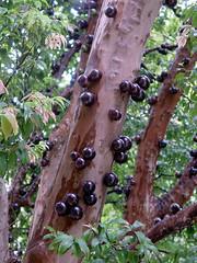 FPM409 Jabuticabeira - Frutificação (1) (Fernando Picarelli Martins) Tags: frutas fruits vinho suco jabuticabeira jabuticaba licor vinagre jaboticaba geléia myrciariajaboticaba famíliadasmirtáceas consumoaonatural