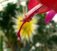 Christmas Cactus at Phipps Conservatory with yellow star