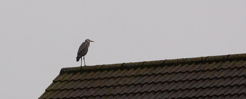 Grey Heron on a Rooftop