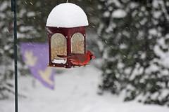 Male Cardinal at Snowy Feeder (Family Man Studios) Tags: winter snowstorm 2009 cardinals newarkdelaware backyardbirds delawareonline