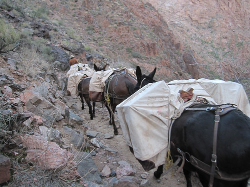 Fully loaded Pack Mules