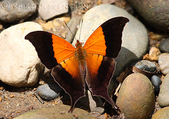 Glossy Daggerwing (Marpesia furcula oechalia)? (macronyx) Tags: peru nature butterfly insect wildlife insects papillon mariposa schmetterlinge farfalle fjäril nymphalidae sommerfugle marpesia perhoset daggerwing cyrestini marpesiafurcula cyrestinae hermionedaggerwing marpesiafurculaoechalia glossydaggerwing sunsetdaggerwing