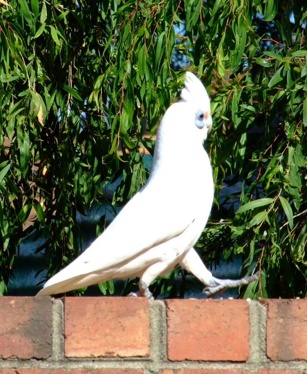 little corella 03
