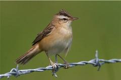 Sedge Warbler - img_3284 (nigel pye) Tags: nature wildlife norfolk nigel warbler sedge pye acrocephalus schoenobaenus