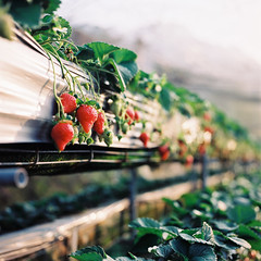 (StephenTing) Tags: 120 6x6 t strawberry kodak taiwan hasselblad negative co f28 fa  planar  80mm 500cm carlzeiss     ektar100