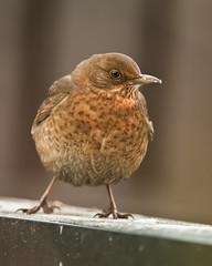 _UGL2519koltrast (uffelarsen) Tags: turdusmerula blackbird koltrast