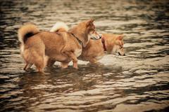 Healthy Competition (dancingshiba) Tags: lake dogs wet water fun outside rainy hana fox stick shiba inu fetching