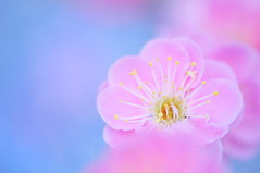 Sing a Spring Song (*Sakura*) Tags: pink blue flower macro nature japan plum  sakura  earlyspring
