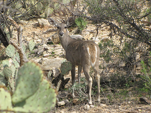 Deer in Sabino Canyon