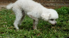 Billynho (Alezinha.lele) Tags: old dog white cute male co branco puppy toy happy amigo friend funny little sony bonito royal mini famlia dos 350 cachorro poodle micro viagem campo billy feliz alpha companion macho fofo engraado velho cheirando royale fazenda 2010 sonhos maro idoso companheiro velhinho branquinho canishe