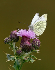 Green-veined White (Charlotte Brett Photography) Tags: butterfly greenveinedwhite