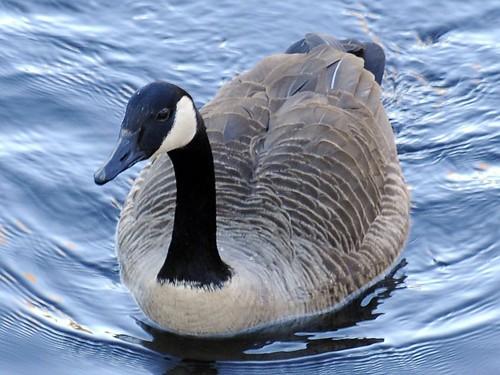 canada goose framingham
