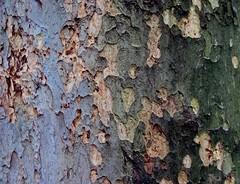 La carne dell'anima (Fata_Ignorante) Tags: rome roma tree verde green nature rain grey poetry grigio heart natura bark poesia albero pioggia cuore corteccia federicogarcialorca