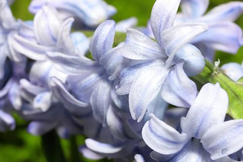 Pale Blue Hyacinths