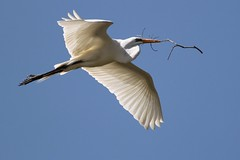141 Great Egret (dydawnsdream) Tags: cool shot goldstarawardgoldmedalwinner mygearandmepremium mygearandmebronze hg~sb