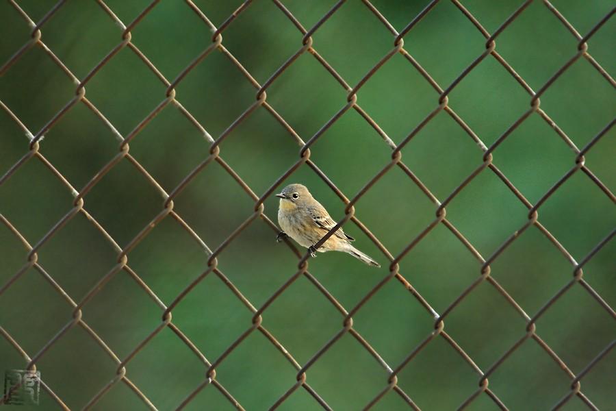 Yellow-rumped Warbler 12081
