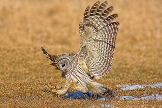 Barred_Owl_015