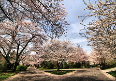 Cherry Blossom Roads (` Toshio ') Tags: street pink flowers blue trees sky flower green grass clouds cherry washingtondc spring triangle blossoms maryland fork neighborhood sidewalk cherryblossoms blooms hdr highdynamicrange kenwood chevychase cherryblossomfestival toshio forkintheroad