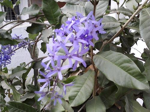 4. Krishnagaru flowers