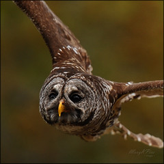 Owl Face (marykpics) Tags: bird yellow nocturnal beak spanishmoss hunter browneyes bigbrowneyes swoop hoot avian barredowl southflorida birdwatcher strixvaria hootowl yellowbeak specanimal wetprairie avianexcellence eighthooter rainowl dinnerislandranch mouseeater mothernaturesgreenearth