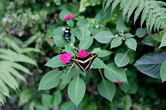 baudchon-baluchon-mindo-papillons-27