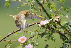 Greenfinch (juv) in Flight (bojangles_1953) Tags: bird nature canon flying wings wildlife greenfinch nbw naturewatcher greenfinchinflight mothernaturesgreenearth