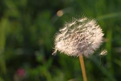 15. Juni 2011: Pusteblume (Gertraud-Magdalena) Tags: juni frühling samen löwenzahn pusteblumen